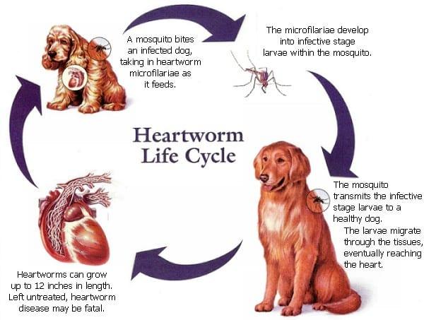 Pet Exams in Valparaiso: Heartworm life cycle